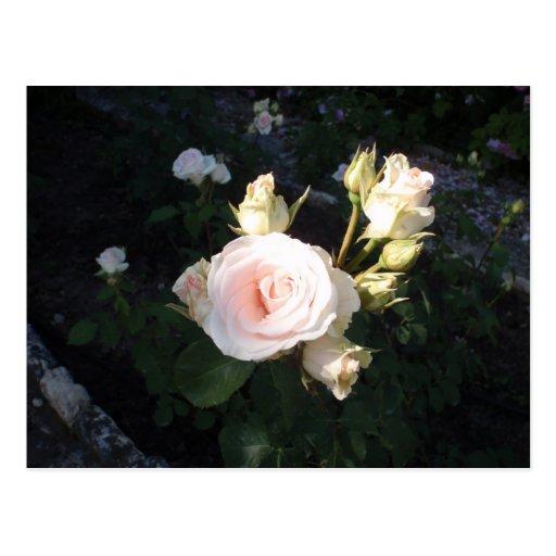 Vivaldi Hybrid Tea Rose Postcard