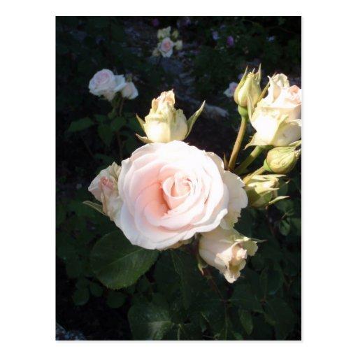 Vivaldi Hybrid Tea Rose Post Card