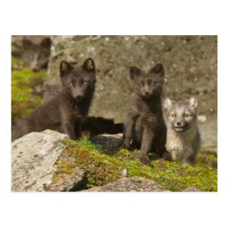 Vixen with kits outside their den postcard