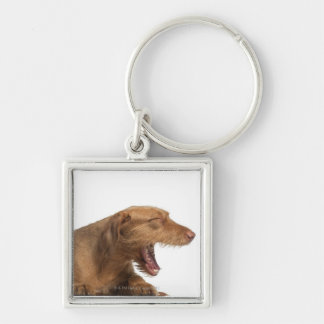 Vizsla yawning in front of white back ground key ring