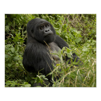 Volcanoes National Park, Mountain Gorilla Poster