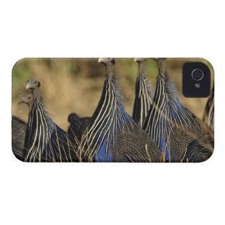 Vulturine Guinea fowl, Acryllium vulturinum, iPhone 4 Covers