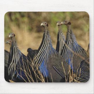 Vulturine Guinea fowl, Acryllium vulturinum, Mouse Pad