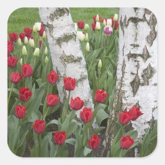 WA, Skagit Valley, Roozengaarde Tulip Garden Square Sticker