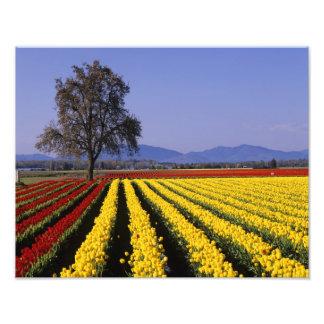 WA, Skagit Valley, Skagit Valley Tulip 2 Photo