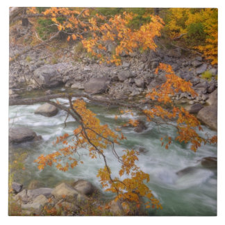 WA, Wenatchee National Forest, Maple tree and Large Square Tile