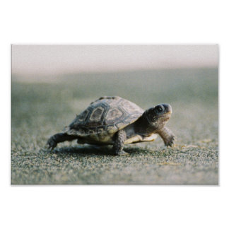 Walking Turtle Poster