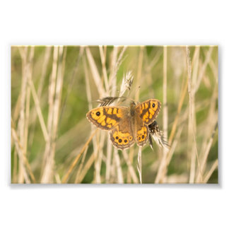 Wall Brown Butterfly Photograph