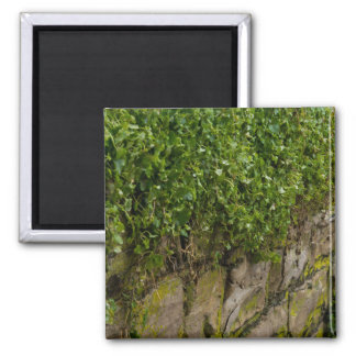 Wall Of Ivy Magnet