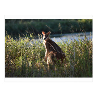 WALLABY RURAL QUEENSLAND AUSTRALIA POSTCARD