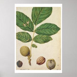 Walnut, c.1568 (w/c on paper) poster