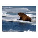 Walrus in the Arctic Ocean Postcard