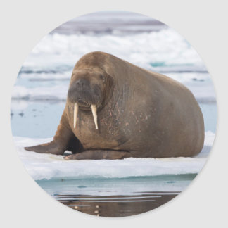 Walrus resting on ice, Norway Classic Round Sticker