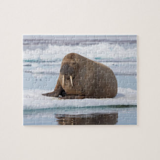 Walrus resting on ice, Norway Jigsaw Puzzle