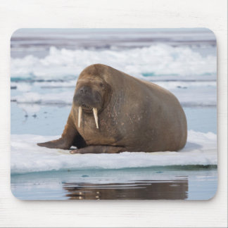 Walrus resting on ice, Norway Mouse Pad