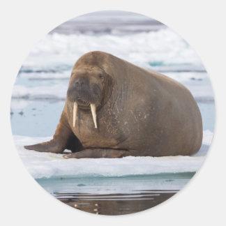 Walrus resting on ice, Norway Round Sticker