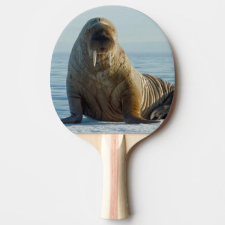 Walrus rests on summer sea ice ping pong paddle
