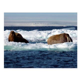 Walruses in Storoya, Svalbard Postcard