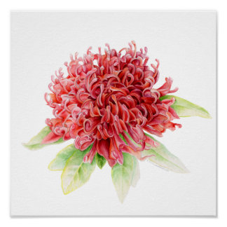 Waratah botanical fine art watercolor poster print