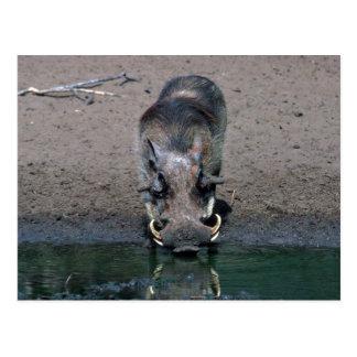 Warthog - Big Boar Postcard