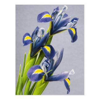 Washington, Redmond, Purple Irises Postcard