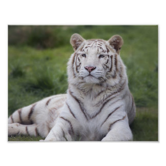 Watchful White Tiger Poster
