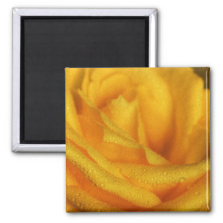 Water Droplets on Elegant Yellow Rose Magnet