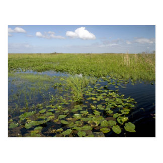 Water lilies and sawgrass in Florida everglades 2 Postcard