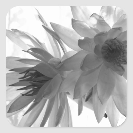 Water Lilies in Monochrome Square Stickers