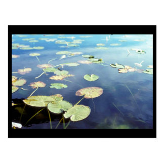 Water Lilies Post Card