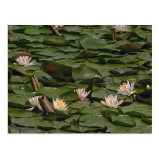 Water Lilies Post Cards