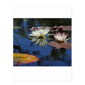 Water Lilies Postcards