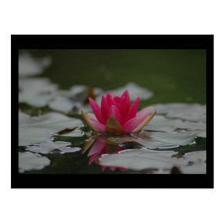 Water Lilly Postcard