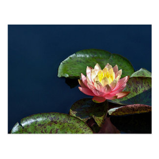 Water lily 2 postcard