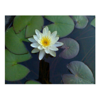 Water Lily blank postcard