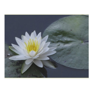 Water Lily Flower Postcards