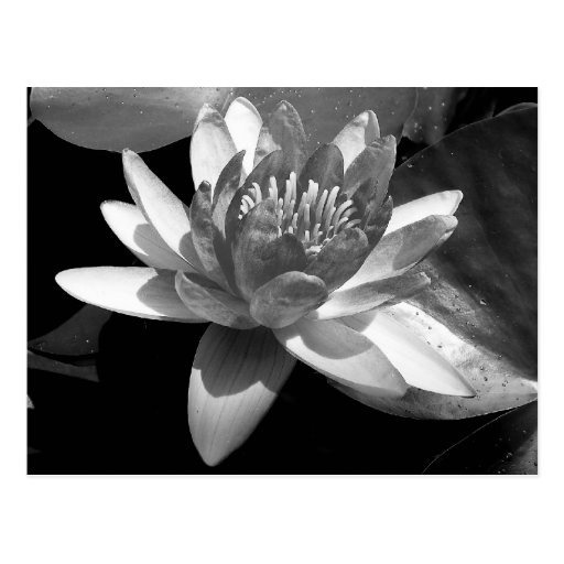 Water Lily Post Cards