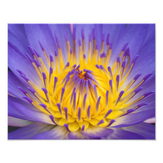 Water lily print photograph