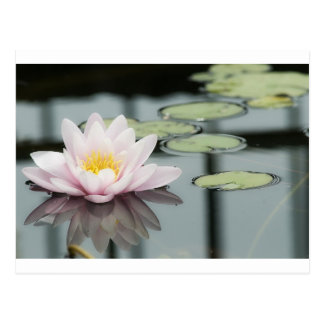 Water lily reflect postcards