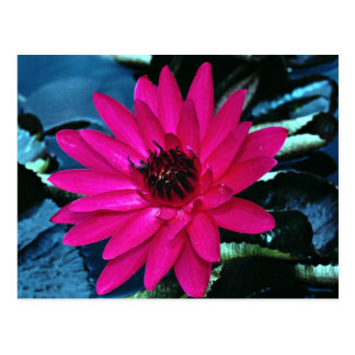 Water lily, tropical night postcards