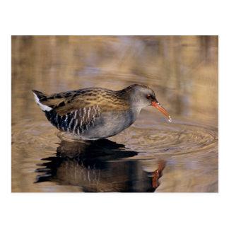 Water Rail, Rallus aquaticus, adult feeding in Postcard