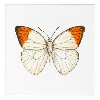 Watercolor butterfly, great orange tip acrylic wall art