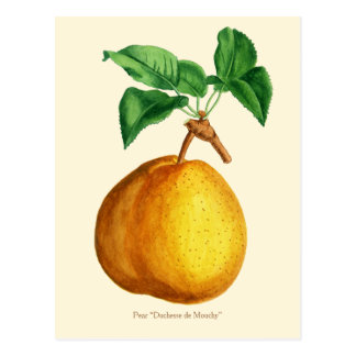 "Watercolor of Pear ""Duchesse de Mouchy"" Postcard"