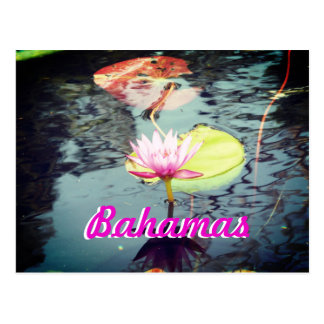 Waterlily and lotus Bahamas Postcard