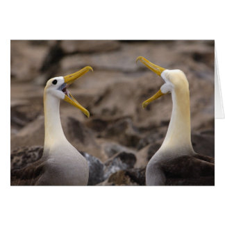 Waved albatross Phoebastria irrorata) pair in Card