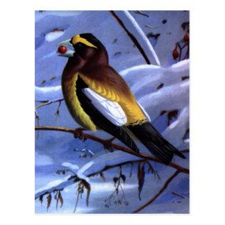 Weber's Evening Grosbeak Postcard