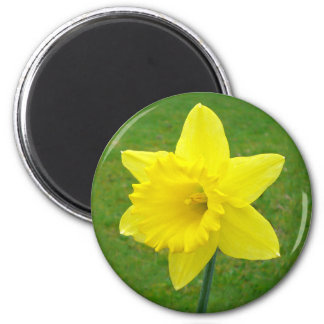Welsh Daffodil 6 Cm Round Magnet