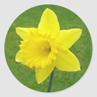 Welsh Daffodil Classic Round Sticker