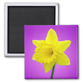 Welsh Daffodil - III Square Magnet