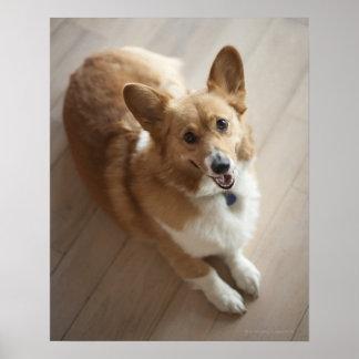 Welsh Pembroke corgi dog lying on wood floor. Poster